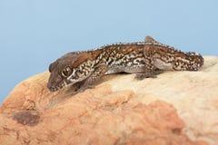 Ocelot Gecko Paroedura pictus stock image
