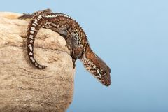Ocelot Gecko Paroedura pictus. Madagascar Ground Gecko basking on rock stock photo