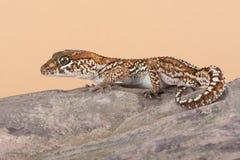 Ocelot Gecko Paroedura pictus stock images