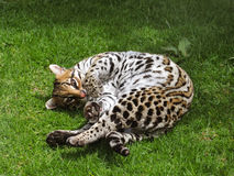Ocelot in the grass. Colombian ocelot in the grass Royalty Free Stock Photo