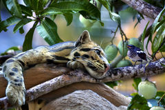 An ocelot is hanging over a mango tree. And views a little bird Royalty Free Stock Image