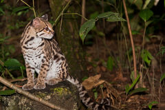Ocelot in the Jungle. An ocelot, or small wild cat, sits on a rock looking into the distance in the jungle of Belize Royalty Free Stock Photo