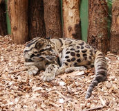 Ocelot - kitten Royalty Free Stock Image