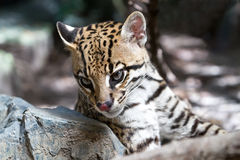 Ocelot Stock Photo