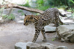 Ocelot. (Leopardus paralis) in forest Stock Images