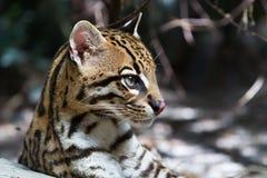 Ocelot,. Ocelot (Leopardus paralis), painted Leopard Royalty Free Stock Images