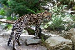 Ocelot,. Ocelot (Leopardus paralis), painted Leopard Royalty Free Stock Photo