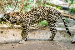 Ocelot,. Ocelot (Leopardus paralis), painted Leopard Royalty Free Stock Image