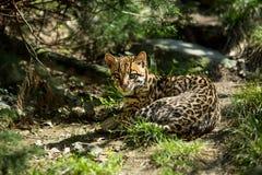 Ocelot,. Ocelot (Leopardus paralis), painted Leopard Stock Photography
