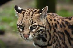 Ocelot Leopardus pardalis Stock Images