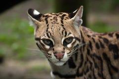 Ocelot Leopardus pardalis Royalty Free Stock Photo