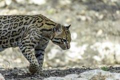 Ocelot, Leopardus pardalis. Small cats, Or Brazilian Cat Royalty Free Stock Photo