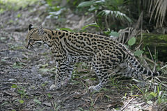 Ocelot, Leopardus pardalis Stock Photography