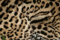 Ocelot, Leopardus pardalis Stock Images