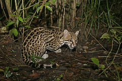 Ocelot, Leopardus pardalis Royalty Free Stock Photo