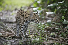Ocelot, Leopardus pardalis Royalty Free Stock Images