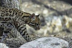 Ocelot, Leopardus pardalis. Small cats, Or Brazilian Cat Stock Images