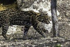 Ocelot, Leopardus pardalis. Small cats, Or Brazilian Cat Stock Photo