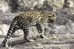 Ocelot, Leopardus pardalis. Small cats, Or Brazilian Cat Royalty Free Stock Images
