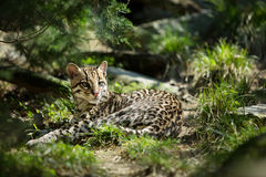 Ocelot Royalty Free Stock Photos