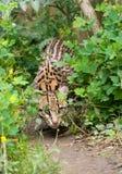Ocelot perscrutando Foto de Stock