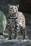 Ocelot portrait while looking at you Stock Photos