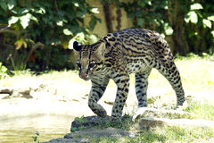 Ocelot Stock Photography