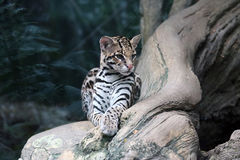 Ocelot. Reclining in a forest Royalty Free Stock Photo