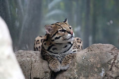 Ocelot. Reclining in a forest Royalty Free Stock Photography