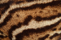 Ocelot texture. Closeup of ocelot fur texture Stock Photo