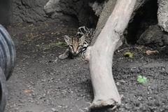 Ocelot. The ocelot, is a wild cat distributed extensively within South America Stock Images
