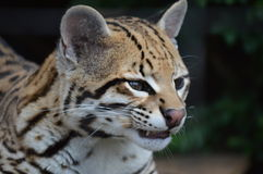 Ocelot Wild Cat Royalty Free Stock Photo
