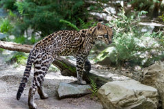 Ocelote, foto de stock royalty free