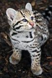 Ocelote Cub - gatito del ocelote que mira para arriba Fotografía de archivo