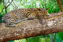 Ocelote Leopardus pardalis Ocelot cat. In central america Jungle photomount Royalty Free Stock Images