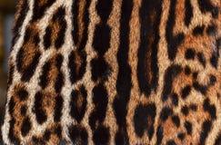 Oceloten, leoparden och jaguar pälsfodrar Royaltyfri Bild