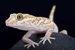 Ocelotgekko (Paroedura-pictus) royalty-vrije stock foto's