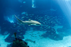 Ocenarium shark Royalty Free Stock Photos