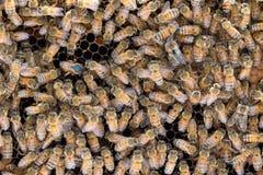 Oceniona królowej pszczoła kłaść jajka Fotografia Stock