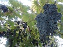 ocet wiązek dojrzałych winogron Wrzesień 2018 zdjęcia royalty free