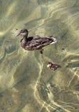 And och Duckling Royaltyfri Bild