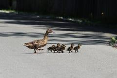 And och ducklings Royaltyfri Fotografi