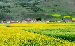 By och rapsfrö i Menyuan, Qinghai Arkivfoton