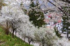 Ochard blooming Stock Photography