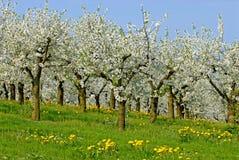 Ochard in blossom Royalty Free Stock Image