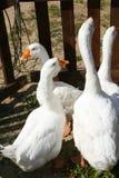 Oche bianche con i becchi gialli in un recinto per bestiame di legno Immagini Stock Libere da Diritti