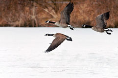 Oche canadesi che catturano volo sopra un lago congelato Fotografia Stock