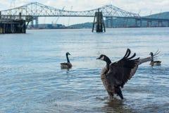 Oche canadesi sul fiume Fotografia Stock Libera da Diritti