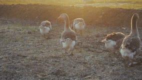 Oche che camminano all'aperto nel tramonto video d archivio