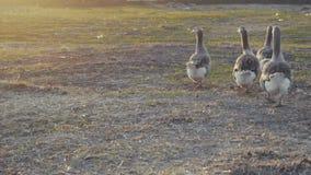 Oche che camminano all'aperto nel tramonto archivi video
